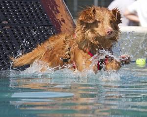 Dogfest 2014 - Dockdog - Toller diving